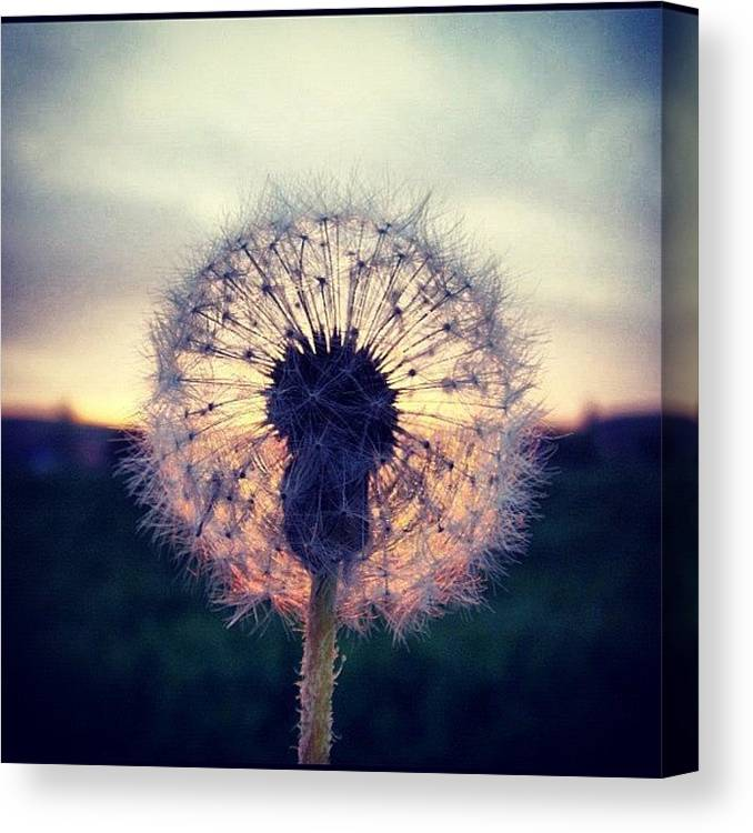 Countryside Canvas Print featuring the photograph #mgmarts #dandelion #sunset #simple by Marianna Mills