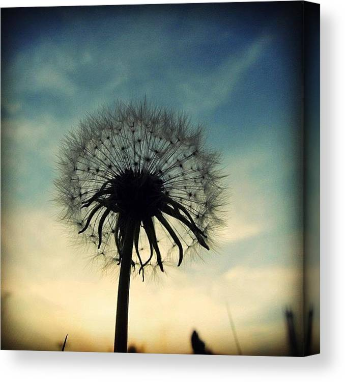 Life Canvas Print featuring the photograph #mgmarts #dandelion #weed #sunset #sun by Marianna Mills