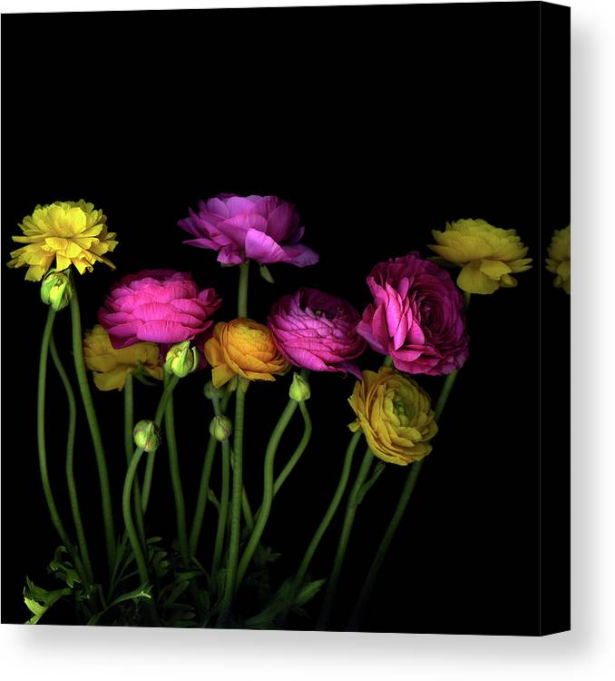 Black Background Canvas Print featuring the photograph Persian Buttercups Ranunculus Asiaticus by Photograph By Magda Indigo