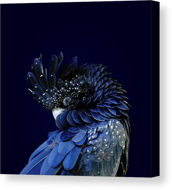 Fort Worth Canvas Print featuring the photograph Red-tailed Black Cockatoo by © Debi Dalio