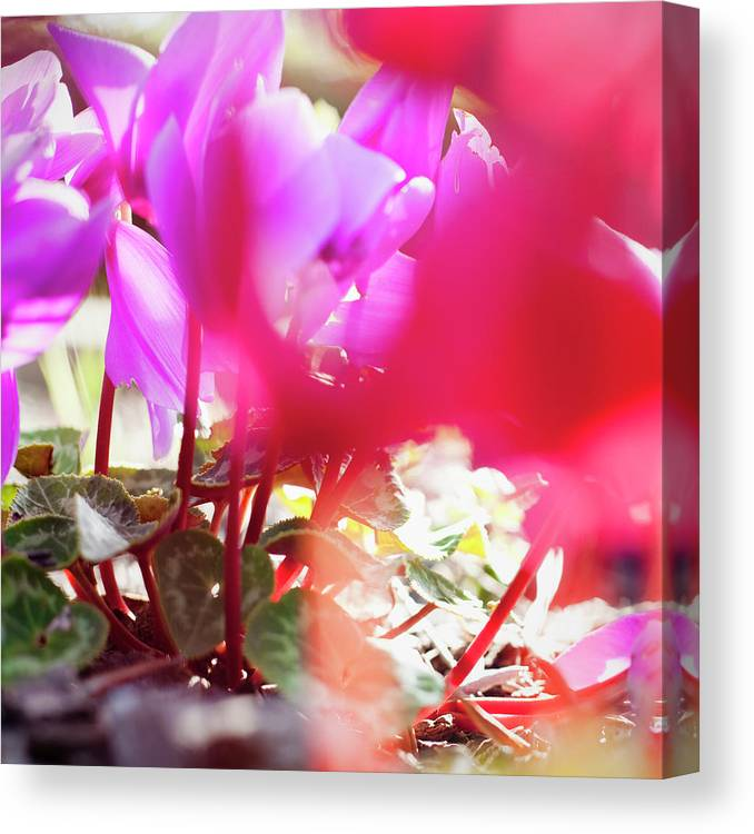 Shadow Canvas Print featuring the photograph Vibrant Magenta Cyclamen In Bloom by Erika Pino