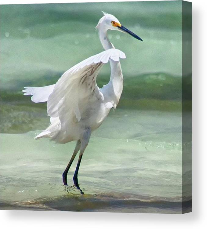 Egret Canvas Print featuring the photograph A Snowy Egret (egretta Thula) At Mahoe by John Edwards