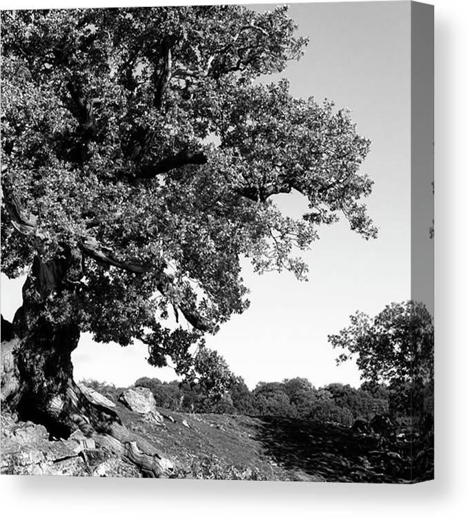 Woodland Canvas Print featuring the photograph Ancient Oak, Bradgate Park by John Edwards