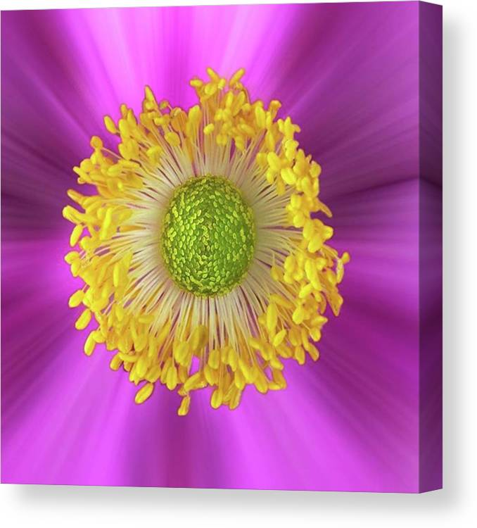 Beautiful Canvas Print featuring the photograph Anemone Hupehensis 'hadspen by John Edwards