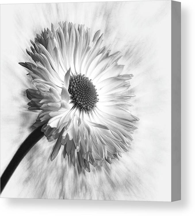 Beautiful Canvas Print featuring the photograph Bellis In Mono  #flower #flowers by John Edwards
