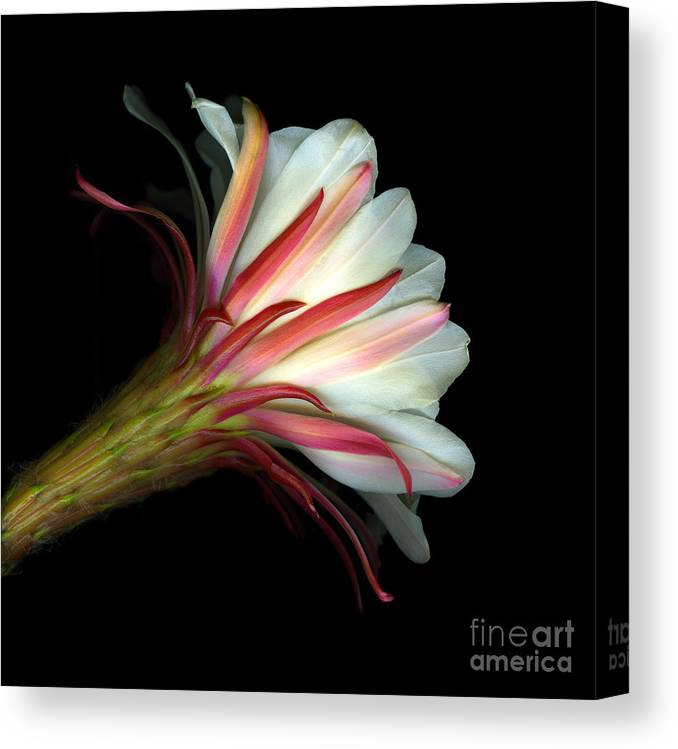 Scanart Canvas Print featuring the photograph Cactus Flower by Christian Slanec