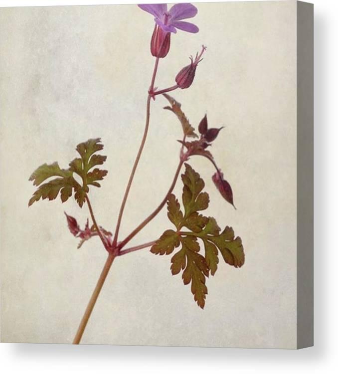 Beautiful Canvas Print featuring the photograph Herb Robert - Wild Geranium  #flower by John Edwards