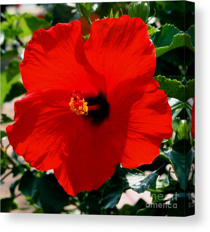 Red Canvas Print featuring the photograph Red Bloomers by Paul Anderson