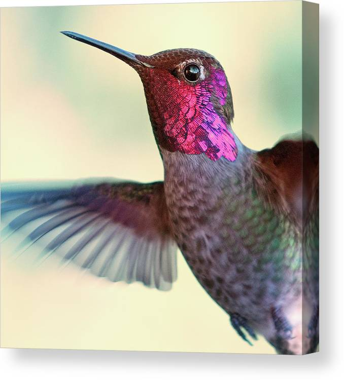 Animal Themes Canvas Print featuring the photograph Annas Hummingbird by By Ed Sweeney