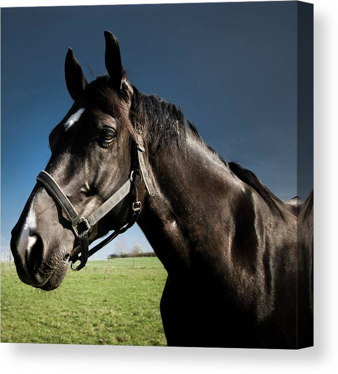 Horse Canvas Print featuring the photograph On The Meadow by Pixalot