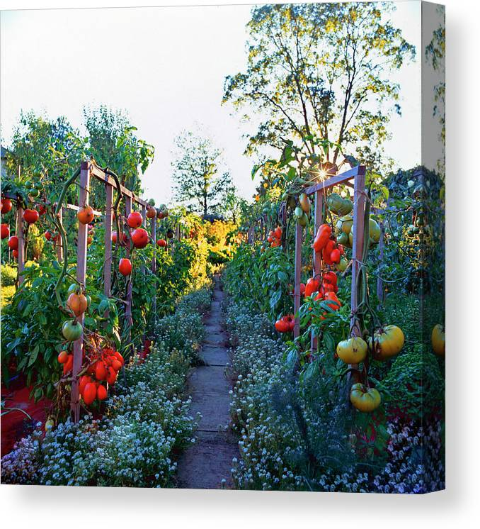 Community Garden Canvas Print featuring the photograph Tomatoes On Frames by Richard Felber