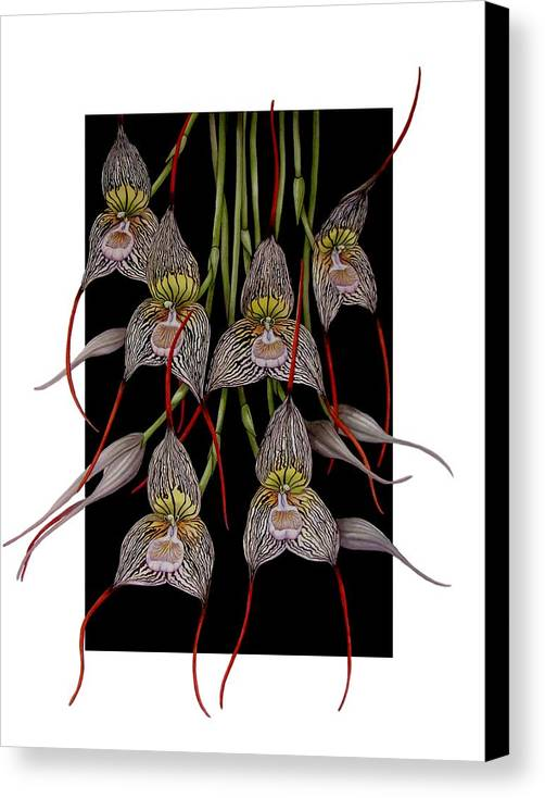 Orchid Canvas Print featuring the painting Dracula Vampira by Darren James Sturrock