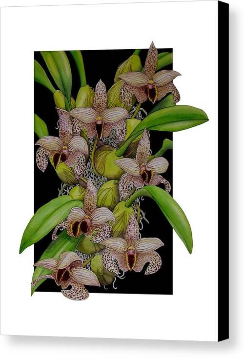 Orchids Canvas Print featuring the painting Bulbophyllum Sumatranum by Darren James Sturrock