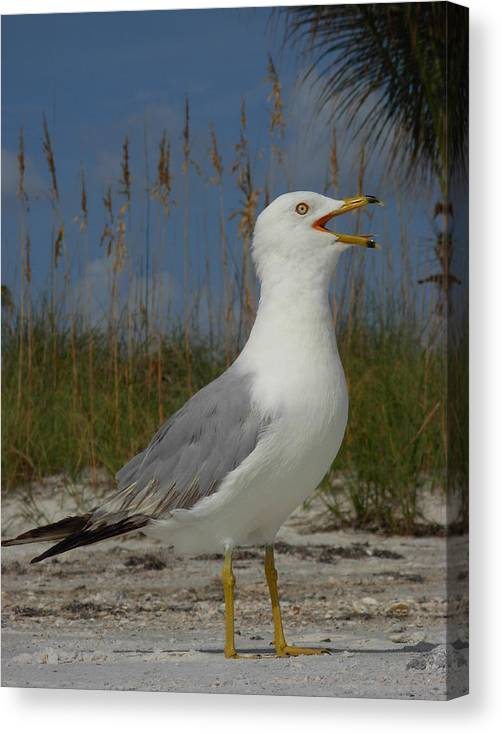 Seagulls Canvas Print featuring the photograph Songs Of The Gull by Amanda Vouglas