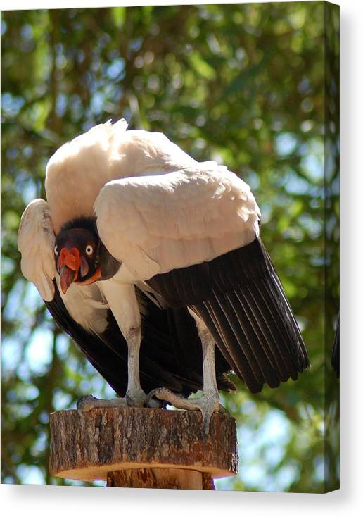 King Vulture Canvas Print featuring the photograph King Vulture 3 by Susan Heller