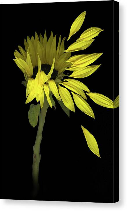 Sunflower Canvas Print featuring the digital art Sunflower Breeze by Sandi F Hutchins