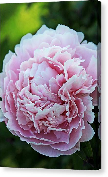 Pink Canvas Print featuring the photograph In Bloom by Jamie McBride