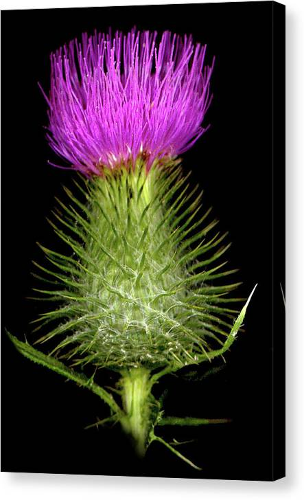 Canvas Print featuring the photograph Thistle by Sandi F Hutchins