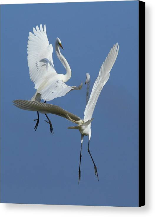 Great Egret Canvas Print featuring the photograph Aerial Ballet by Andrew McInnes