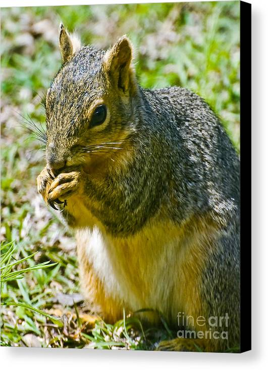 Red Squirrel Canvas Print featuring the photograph Red Squirrel by Bob and Nadine Johnston