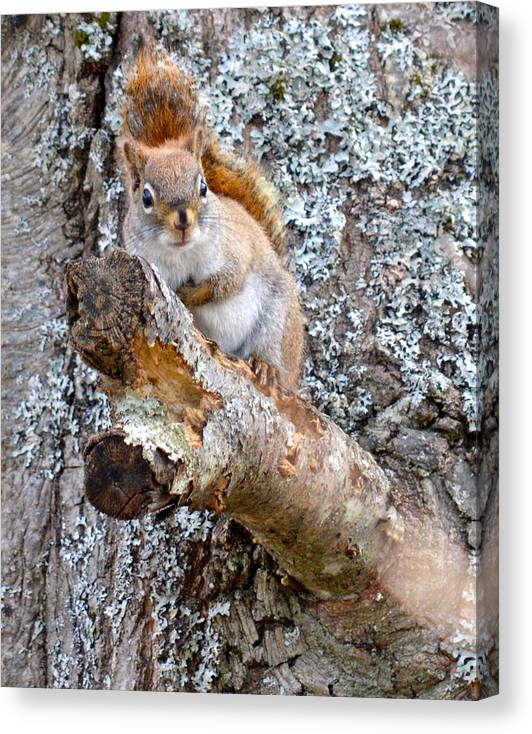 Nature Red Squirrel Maine Wildlife Canvas Print featuring the photograph Red Squirrel Maine by Sheila Price