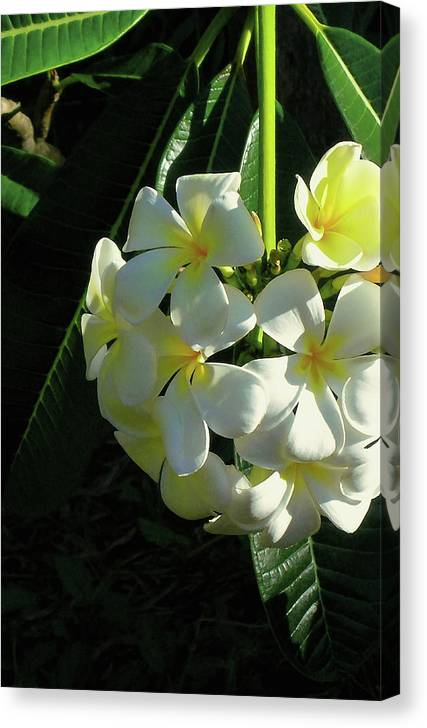 Plumeria Canvas Print featuring the photograph Good Morning Sunshine by James Temple