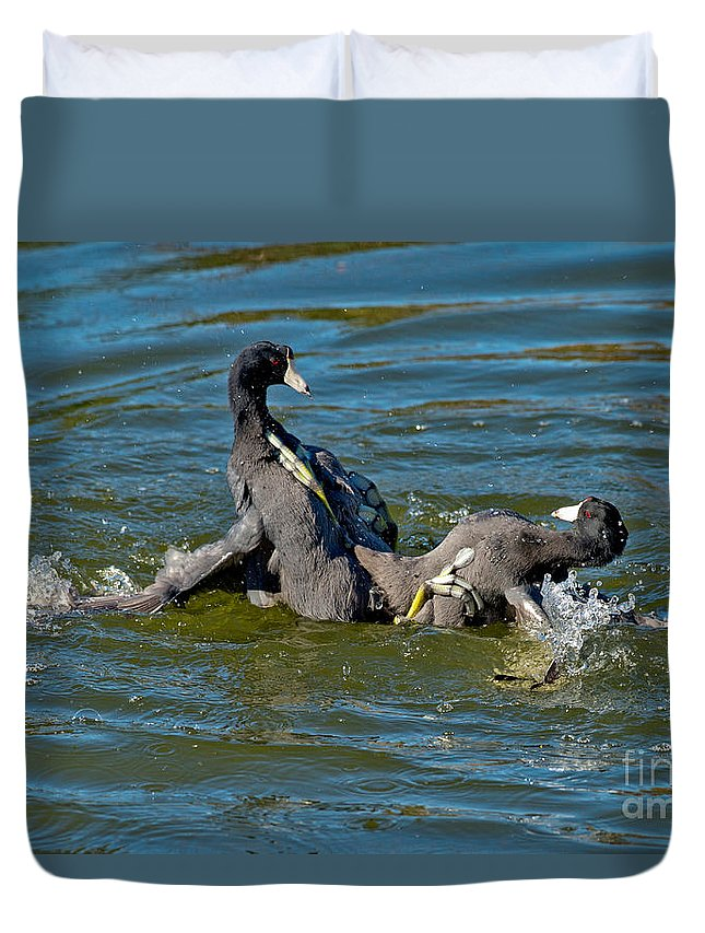 Nature Duvet Cover featuring the photograph American Coots Fighting by Anthony Mercieca