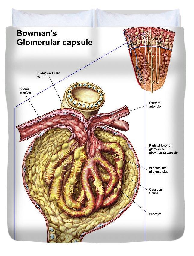 Anatomy Of Glomerulus Image collections - human body anatomy