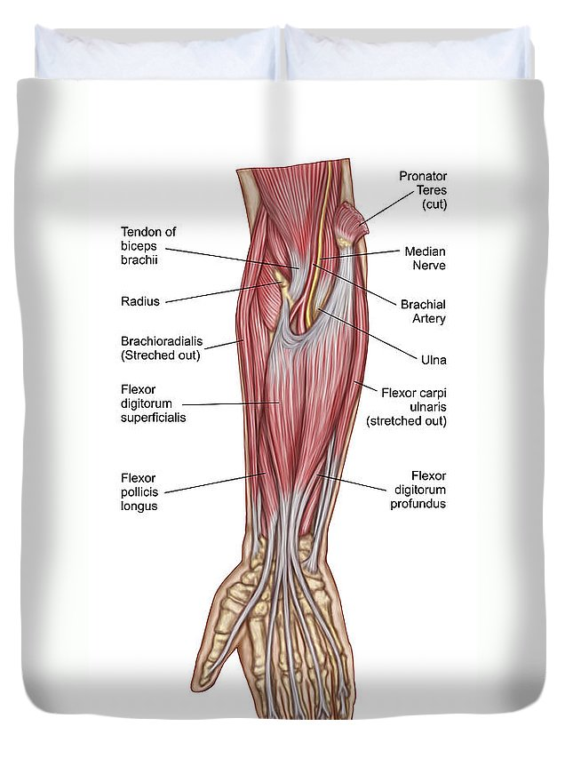 Anatomy Of Forearm Muscles Anterior Duvet Cover For Sale By