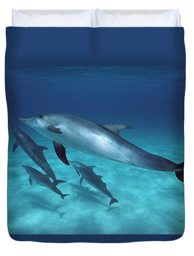 Feb0514 Duvet Cover featuring the photograph Atlantic Spotted Dolphin Pod Bahamas by Flip Nicklin