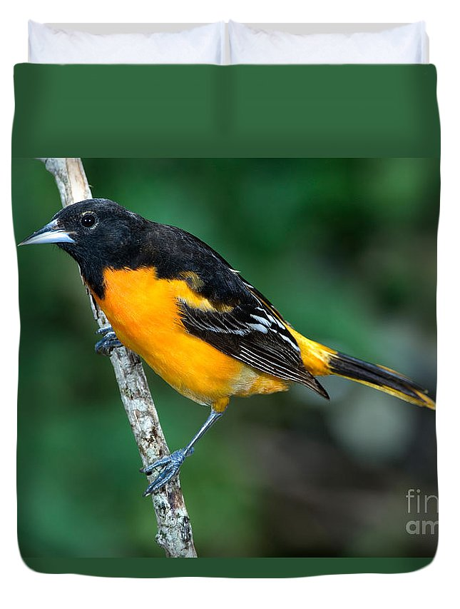 Animal Duvet Cover featuring the photograph Baltimore Oriole Icterus Galbula by Anthony Mercieca