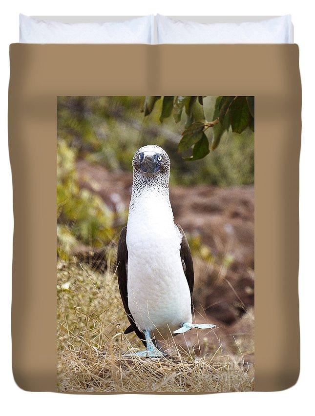 Blue-footed Boobie Duvet Cover featuring the photograph Blue Footed Boobie Dancing Galapagos by Jason O Watson