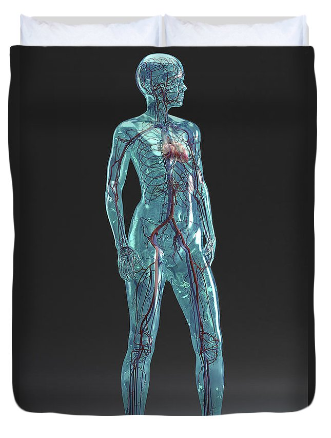 Axillary Artery Duvet Cover featuring the photograph Cardiovascular System Female by Science Picture Co