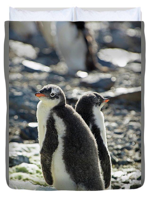 Alertness Duvet Cover featuring the photograph Gentoo Penguins Pygoscelis Papua by Jim Julien / Design Pics