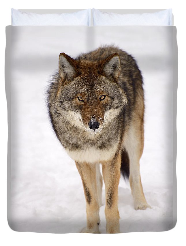 Coyote Duvet Cover featuring the photograph Hungry Eyes by Joshua McCullough