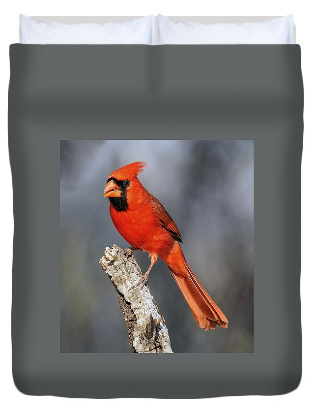 Male Cardinal Duvet Cover featuring the photograph Male Cardinal by Dave Mills