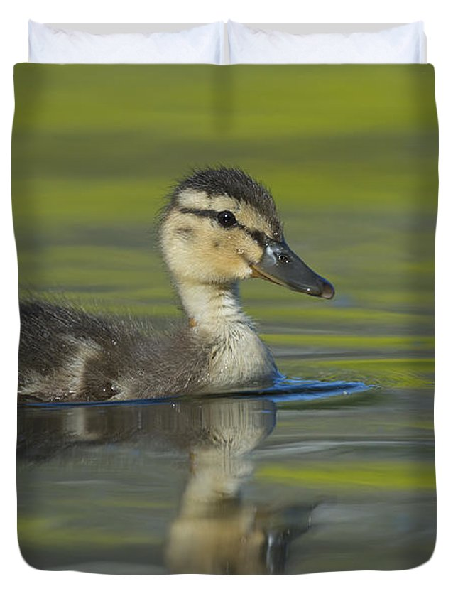 Anas Platyrhynchos Duvet Cover featuring the photograph Mallard Duck Swimming In Marsh Pond by John Shaw