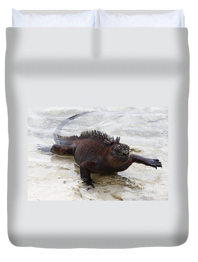 Marine Iguana Duvet Cover featuring the photograph Marine Iguana Galapagos by Jason O Watson