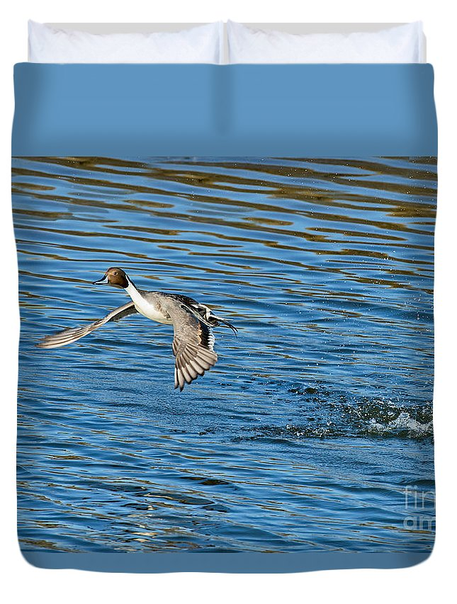 Nature Duvet Cover featuring the photograph Northern Pintail Drake Taking by Anthony Mercieca