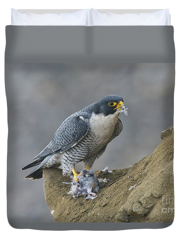 Peregrine Falcon Duvet Cover featuring the photograph Peregrine Eating Pigeon by Anthony Mercieca