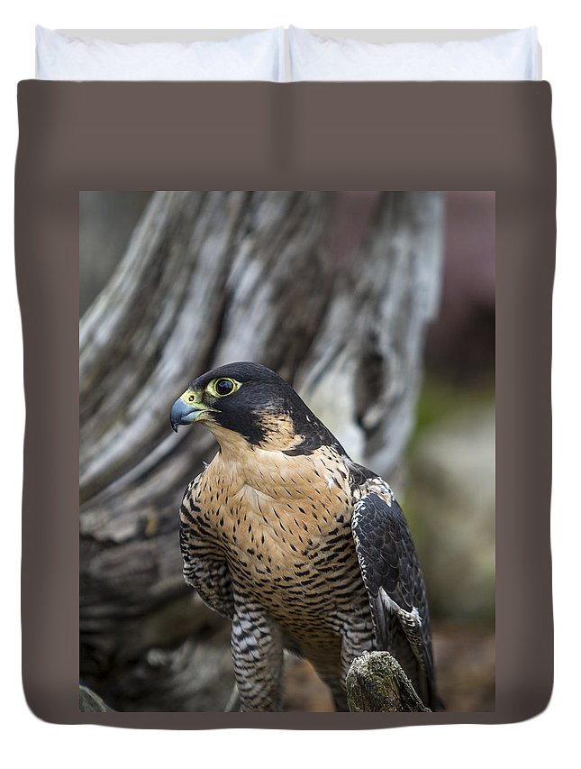 Aerial Duvet Cover featuring the photograph Peregrine Falcon by Jack R Perry