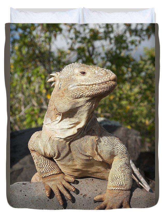 534165 Duvet Cover featuring the photograph Santa Fe Land Iguana Galapagos by Tui De Roy