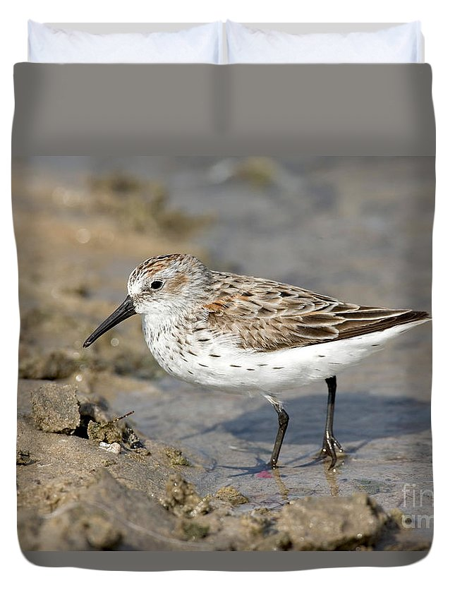 Animal Duvet Cover featuring the photograph Western Sandpiper Calidris Mauri by Anthony Mercieca
