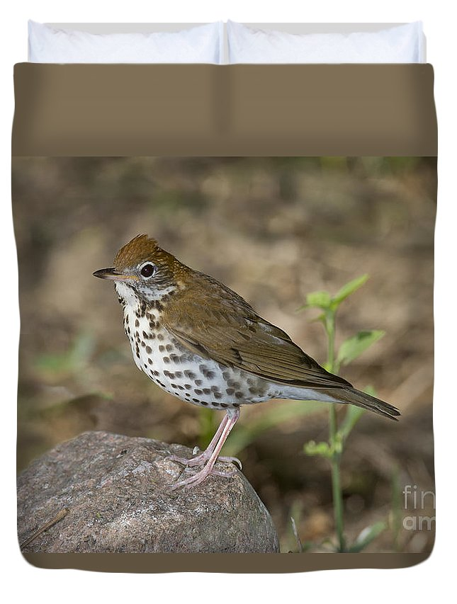 Wood Thrush Duvet Cover featuring the photograph Wood Thrush by Anthony Mercieca