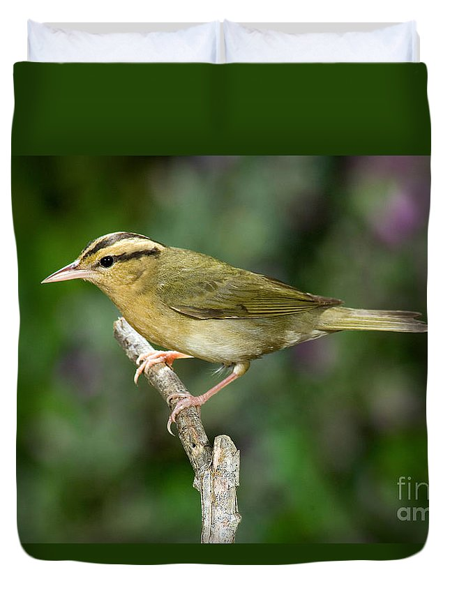 Animals Duvet Cover featuring the photograph Worm-eating Warbler by Anthony Mercieca