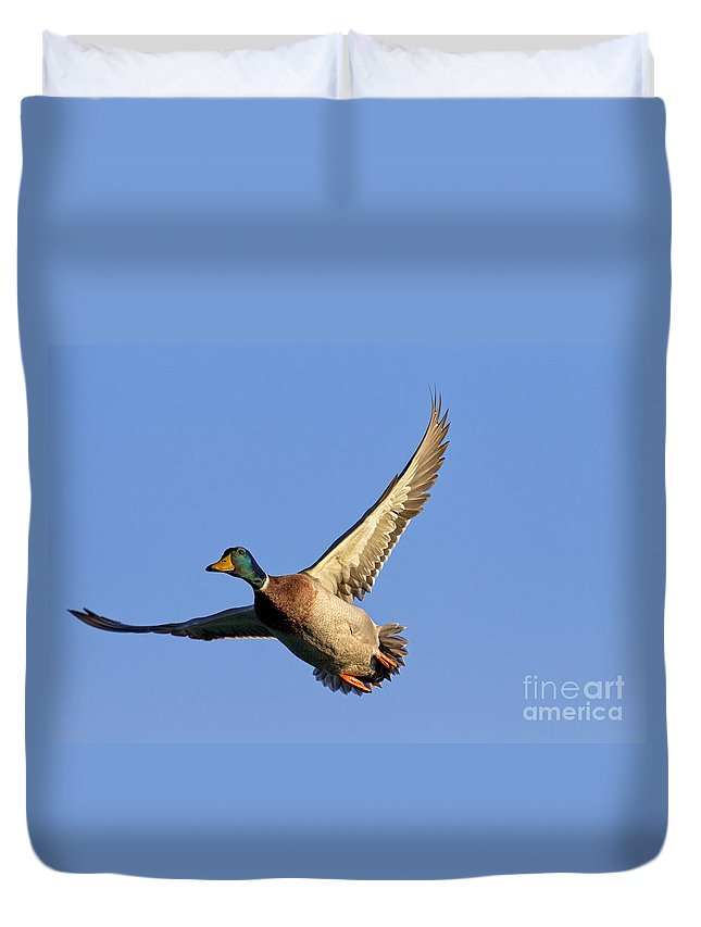 Mallard Duvet Cover featuring the photograph 110506p031 by Arterra Picture Library