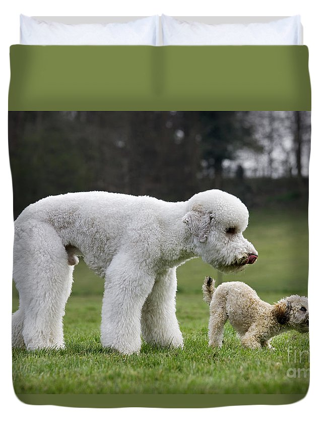 Standard Poodle Duvet Cover featuring the photograph 110506p119 by Arterra Picture Library
