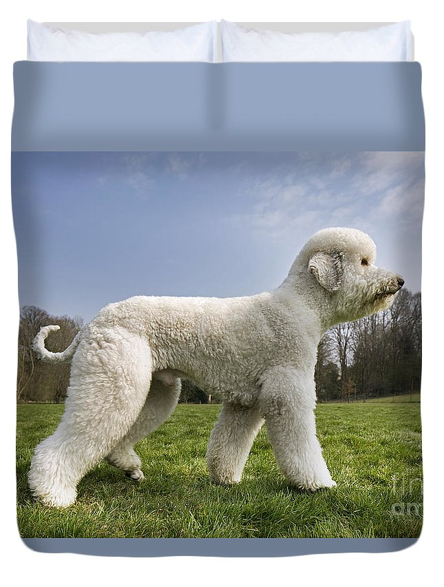 Standard Poodle Duvet Cover featuring the photograph 110506p134 by Arterra Picture Library