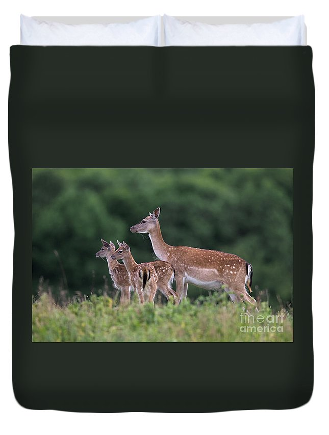 Fallow Deer Duvet Cover featuring the photograph 110613p158 by Arterra Picture Library