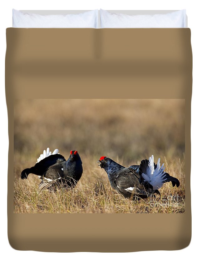 Black Grouse Duvet Cover featuring the photograph 110714p175 by Arterra Picture Library